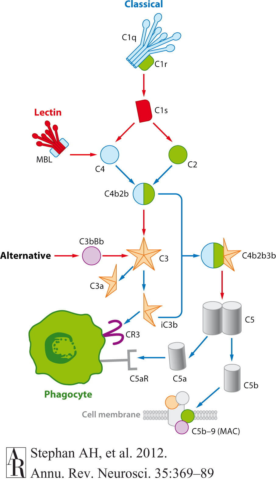 membrane initiated steroid signaling